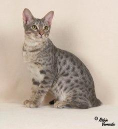 Ocicat Traits American Cat Fanciers ...
